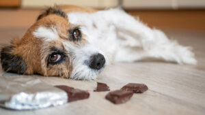 is chocolate bad for dogs? Toxic foods for dogs